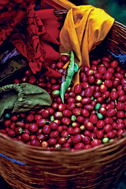 Плоды и зерна кофе
